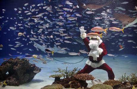 A female diver dressed in a Santa Claus outfit swims inside a large fish tank