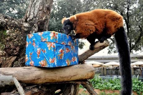 Regali di Natale ai lemuri del Bioparco