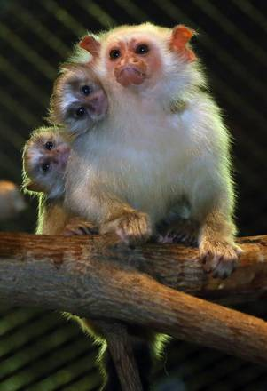 Silvery marmoset offspring in Berlin
