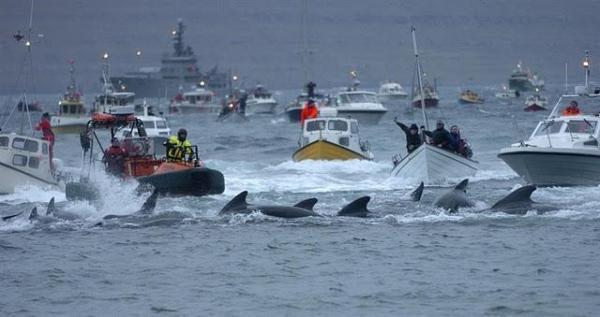 far-oer-la-brutale-strage-delle-balene-pilota-L-wlammE
