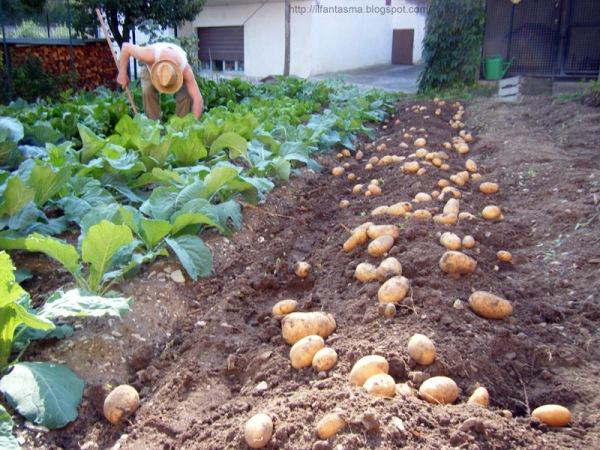 patate-nell'orto