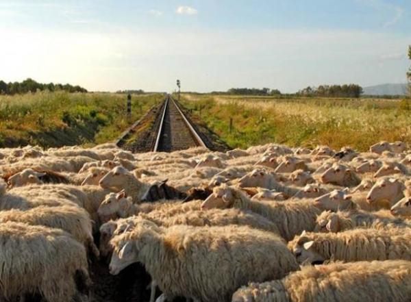 pecore-rotaie