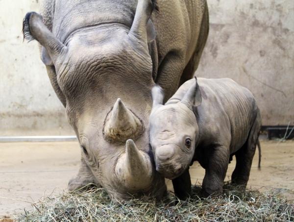 rinoceronte-mamma-piccolo-cucciolo