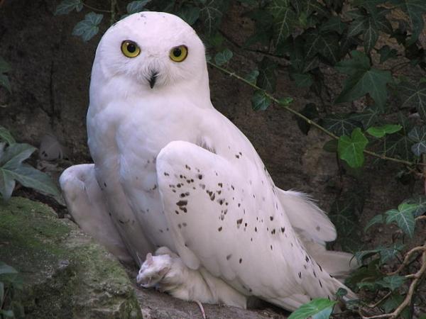 640px-Nyctea-scandiaca-snowy-owl-0a