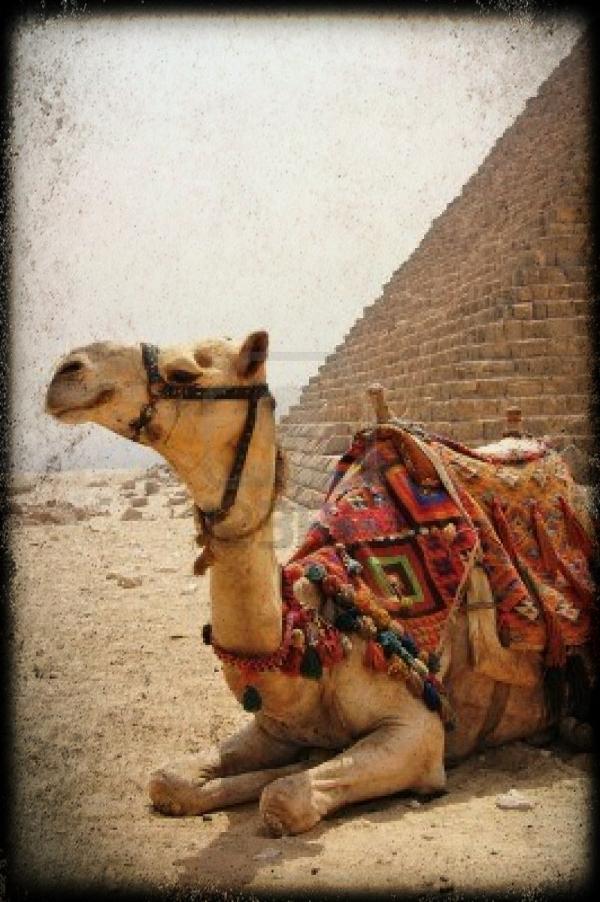 9592159-cammello-con-sella-seduta-accanto-a-una-piramide-di-giza-1