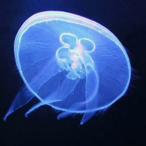 Aurelia Aurita Gardaland SEA LIFE Aquarium
