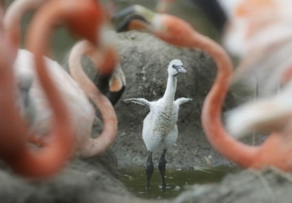 Baby_Flamingo_071d1-16658