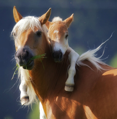 cute-baby-horse-and-mom-400x406