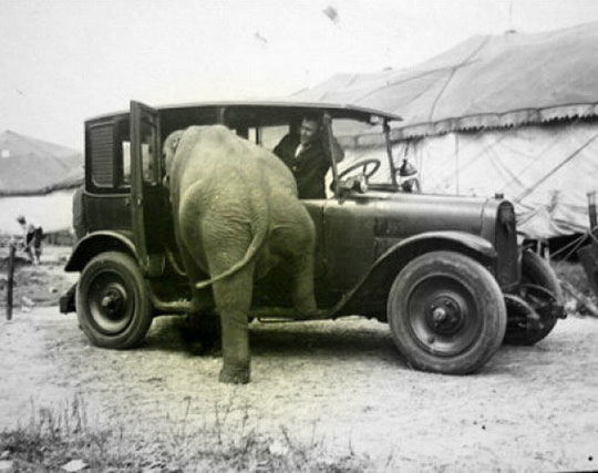 funny-elephant-getting-into-car