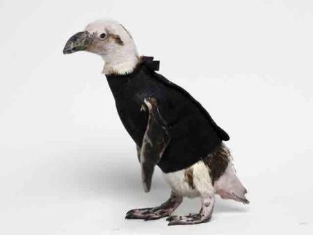 la-storia-di-pierre-un-pinguino-freddoloso-con-il-cappottofoto