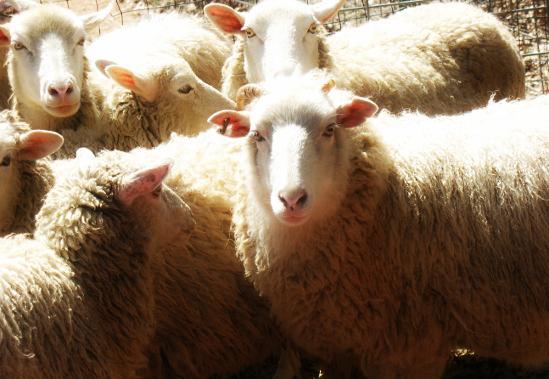 pecore-Piazza-Duomo-Milano