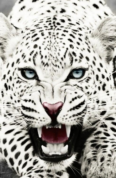 leopardo sbrana bambino in insia