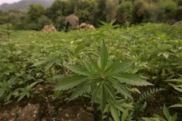 marijuana - giudice