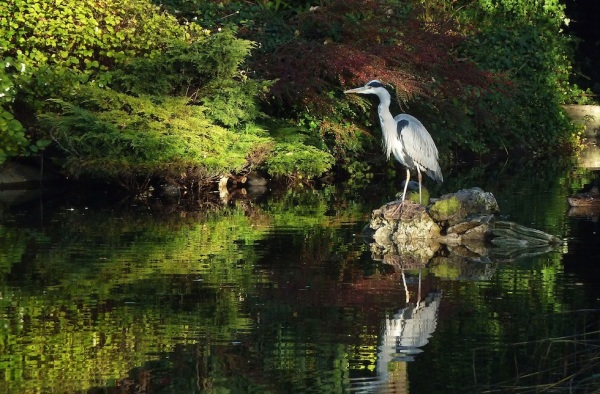 Grey Heron In Walpole Park