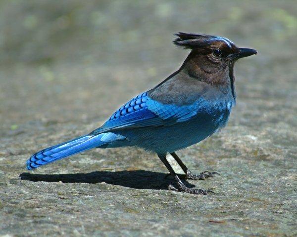 Edenpics-com_005-119-Uccello-ghiandaia-di-Steller-Cyanocitta-stelleri-che-sta-su-una-grossa-pietra