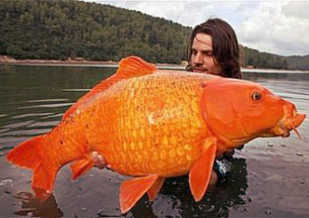 giant-goldfish-lake-tahoe