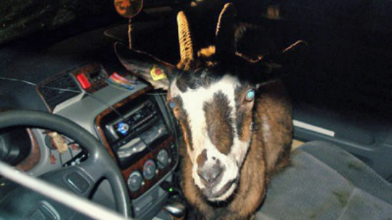 Goat Car Thief