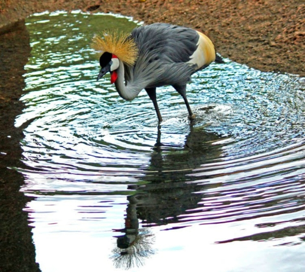 Grey Crowned Crane, Atlanta-Zoo,-GA,-6-17-10