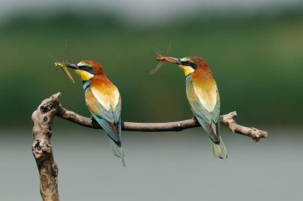 Gruccione (Merops apiaster) 043