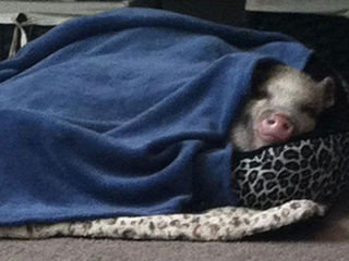 petey pig -forgione