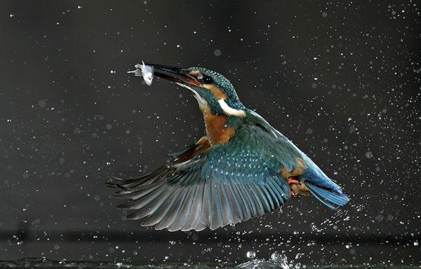 kingfisher01n