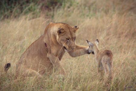 impala orfano e leonessa