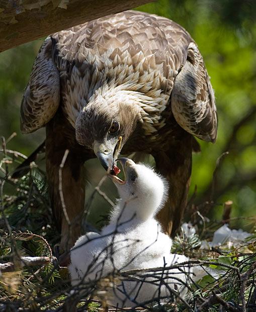 nido aquila