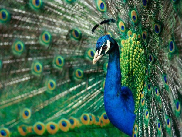 Peacock-animals-28816217-1600-1200