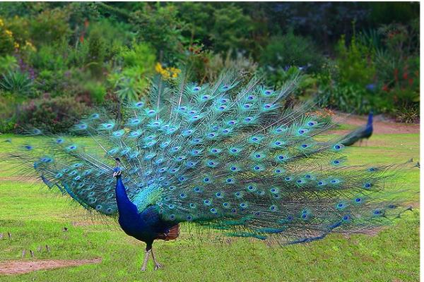 peacock_4n