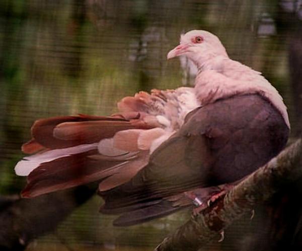ping_pigeon