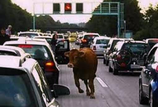 tir-vitelli-autostrada_642434