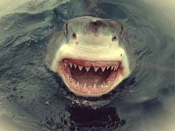 white-shark-south-australia