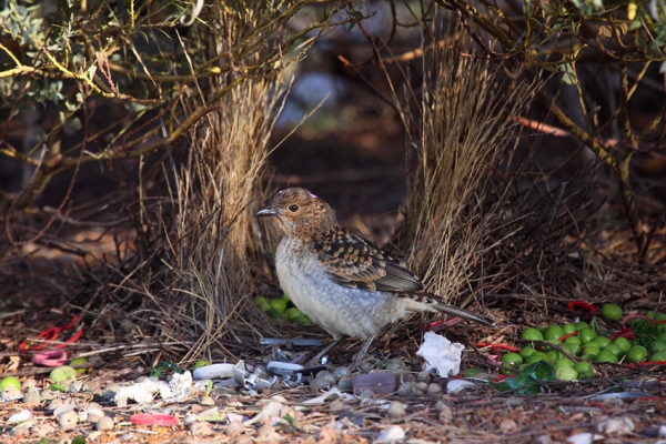 20091121211529_spotted-bowerbird