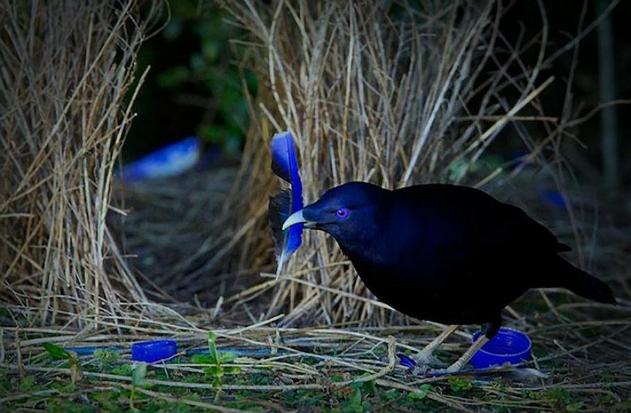 Vita da uccello giardiniere un nido a tinta unita for Immagini giardiniere