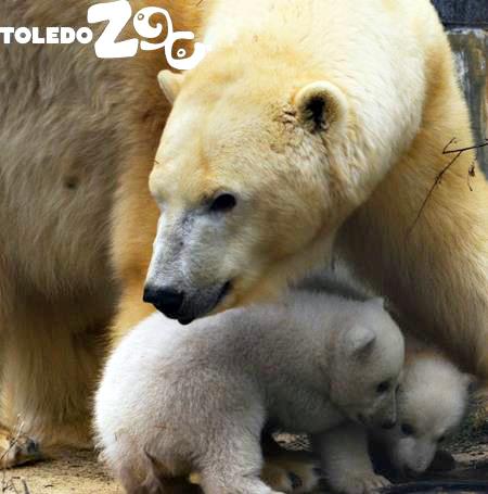 zoo-toledo-bears-orsi