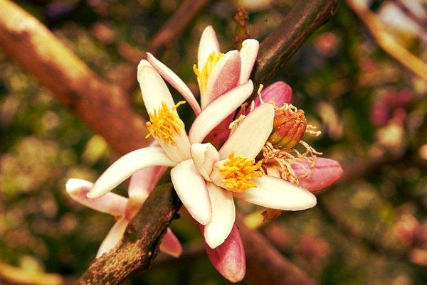 bergamotto-tuttacronaca