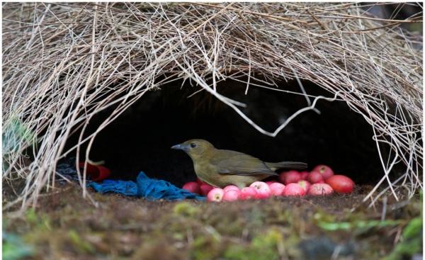 bowerbird-9