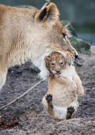 leonessa-cucciolo-felino-foto-divertente-tuttacronaca