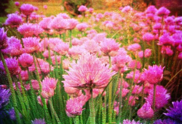 erba cipollina - tuttacronaca