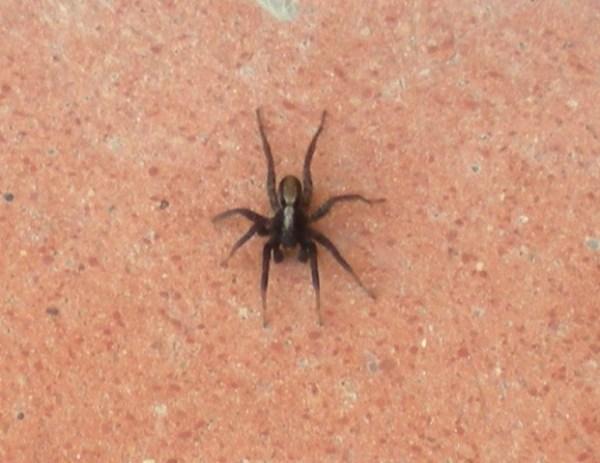 Insetto- ragno - spider-harlem shake-tuttacronaca