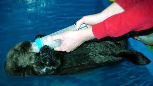 lontra-Vancouver- sealife-tuttacronaca