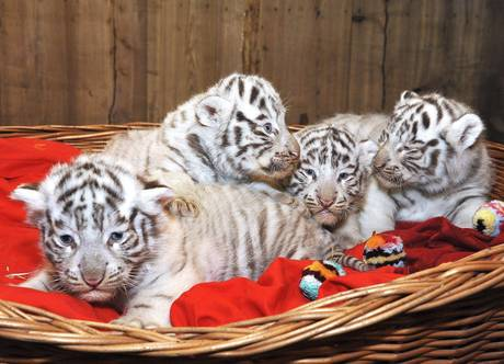 tigre-bianca-bengala-zoo-buenos-aires-tuttacronaca