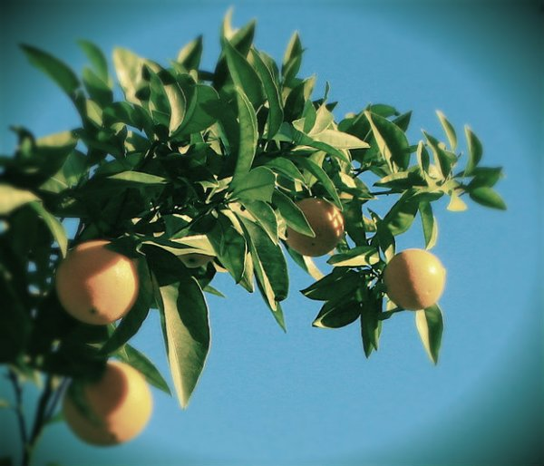 olio di arancio - tuttacronaca