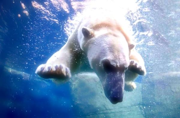orso-bagno-nuota-lago-ivan-noel-zoo