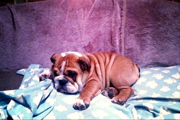 roscoe- tuttacronaca- bulldog