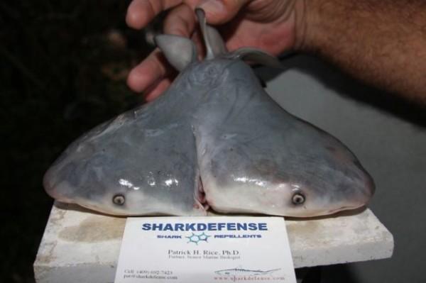 squalo-con-due-teste-tuttacronaca