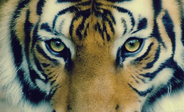 tigre in bagno-tuttacronaca