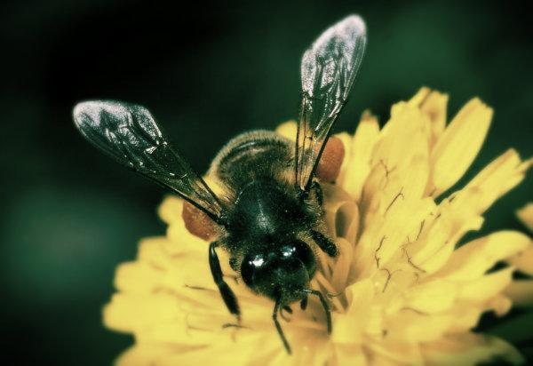 ape-morto