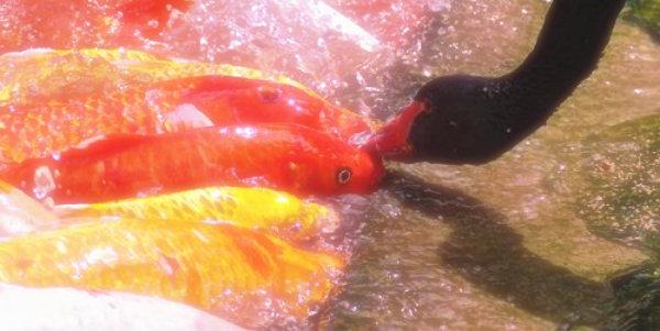 cigni-neri-pesci
