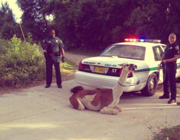 lama-arrestato